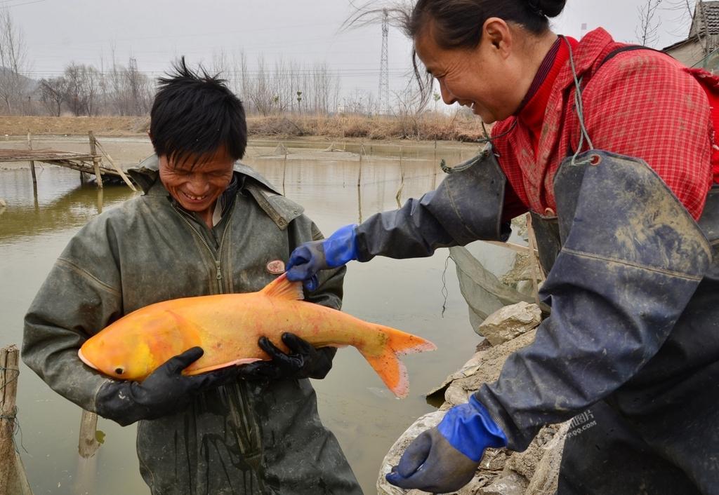 年年有魚!男子捕獲罕見金紅色鳙魚 開心不已