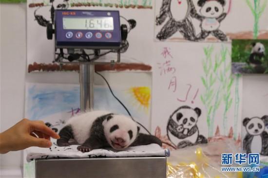 旅比大熊猫幼仔满月 体重均超过1千克非常健康