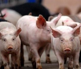 政策利好和市场行情推动 生猪产能年底有望趋稳