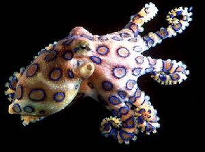蓝环章鱼当宠物卖 网友:蜇一下,它送你走?
