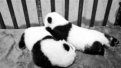 三只秦岭大熊猫宝宝认领开始 100万可终身冠名