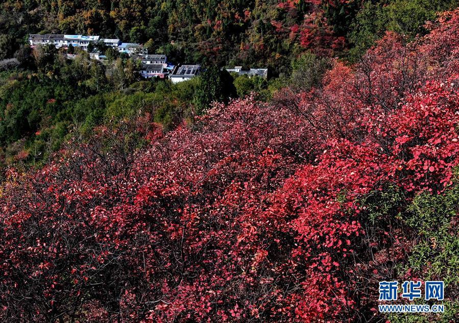 河南洛宁县:红叶漫山秋意浓