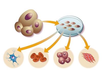 """实现类器官""""组团""""培养 诱导多能干细胞""""无所不能"""""""