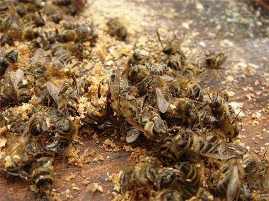 十万蜜蜂一夜暴毙 尸体堆积如山是何原因?
