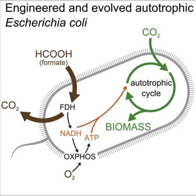 逆天了!科学家培养新型大肠杆菌能以二氧化碳为食