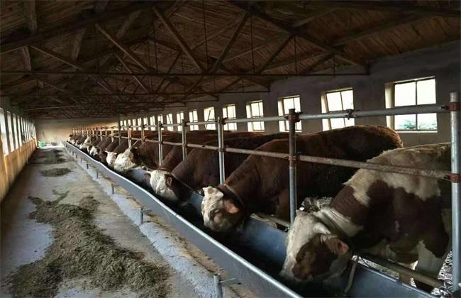 在冬季该如何快速育肥牛呢?