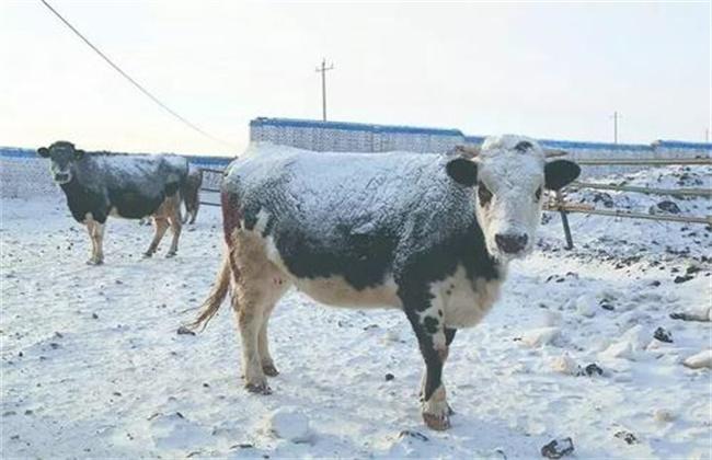 冬季养牛该怎么才能防止它掉膘呢?