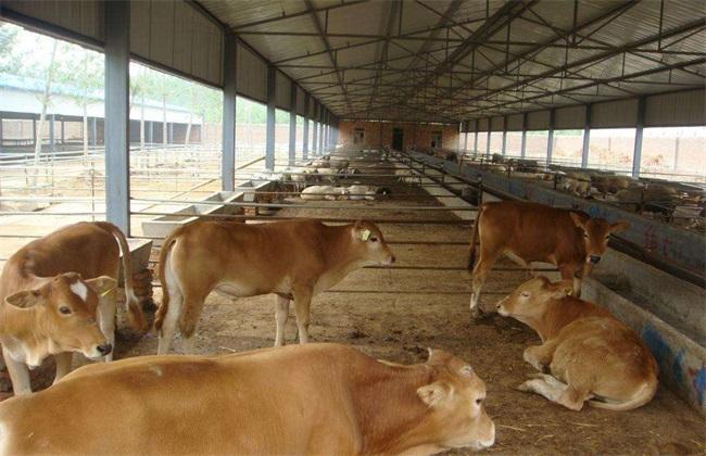 养牛场环境卫生该如何去管理呢?