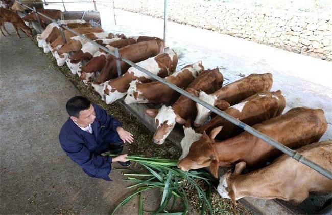 在春季养牛饲喂青饲是非常不错的,春季养牛饲喂青饲注意事项