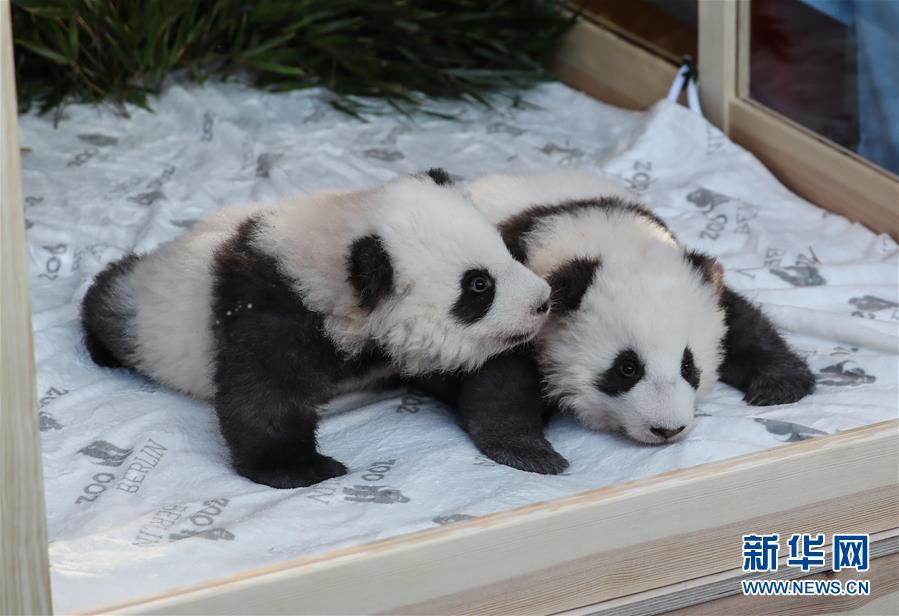 """在德出生大熊猫双胞胎命名为""""梦想""""""""梦圆"""" 意味着""""美梦成真"""""""