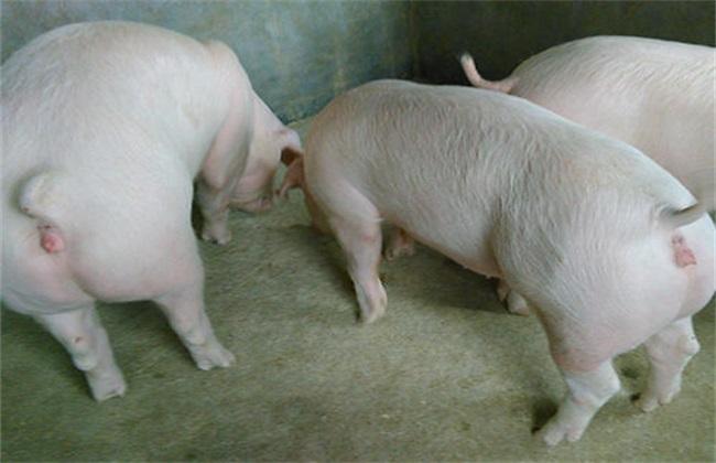 后备母猪不发情的话,该怎么办呢?