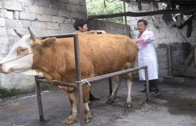 母牛该怎么配种呢?又该什么时候配种呢?