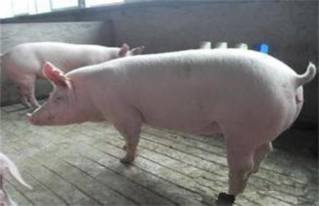 后备母猪初产该怎么做才能使得其繁育效果好?