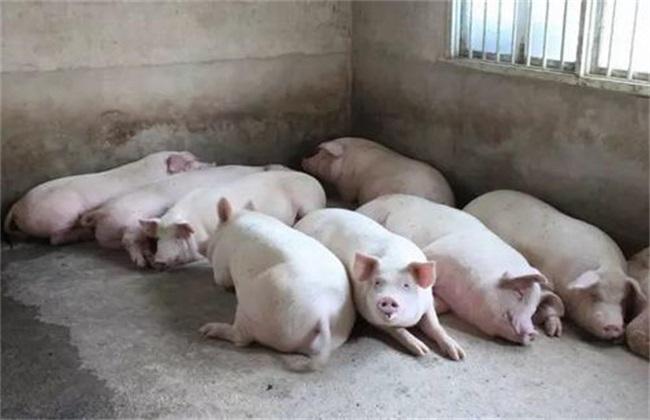 秋季肉猪催肥具体有哪些误区呢?