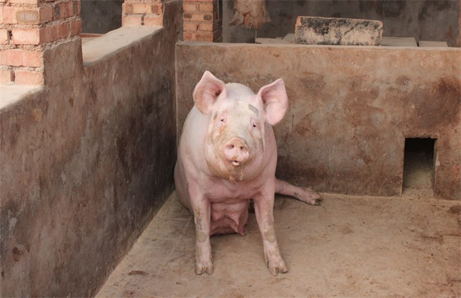母猪体温过低原因以及防治方法