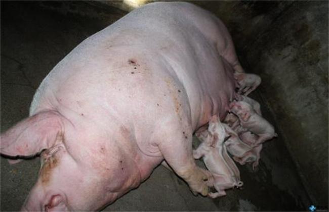 母猪产后不食是什么原因引起的呢?该怎么解决呢?