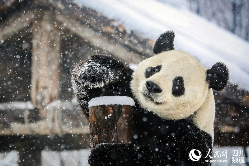 """成都大熊猫娅双、二喜享受""""雪季"""" 这下开心了"""