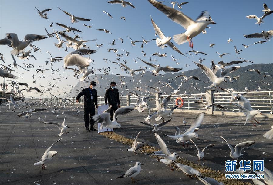 疫情期间昆明红嘴鸥景点设专人投喂 鸥粮每天1000多公斤