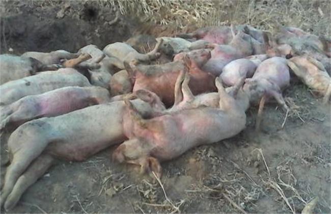 猪瘟 免疫失败 原因