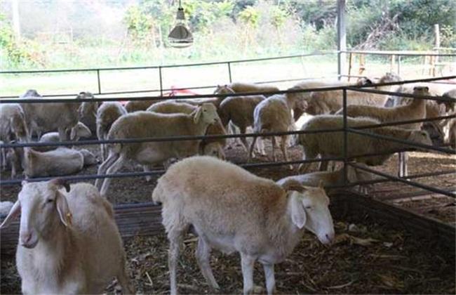 綿羊圈養 怎么才長得快