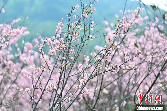 广西南宁:天气晴好 数百亩樱花绽放引游人