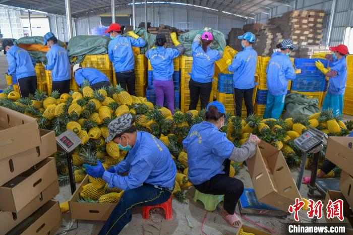 图为采摘工人在海南澄迈一凤梨打包基地分拣、包装凤梨。<a target=