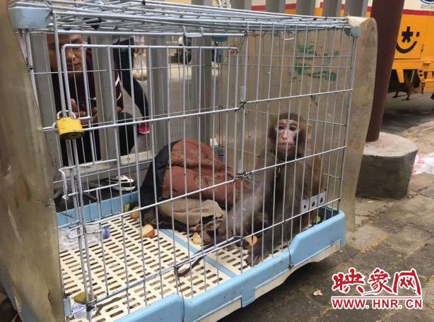 不允许个人饲养 国家二级保护动物猕猴惊现小区门口 因疫情防控遭人遗弃?