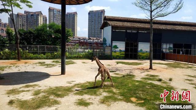厦门人工圈养长颈鹿成功繁育