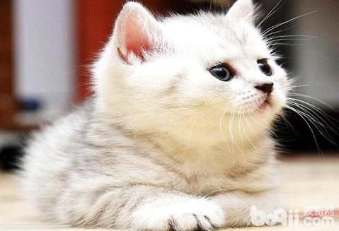 茶杯猫多少钱一只?一般在5000以上好的可达1万元以上