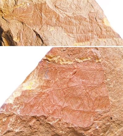 石炭纪晚期昆虫 可能已开始用翅膀传播信息